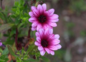 Closeup pink African Daisy flower