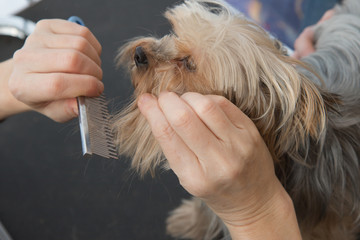 Combing beard of Yorkshire Terrier
