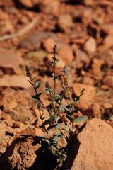 Native Australian Desert Plant