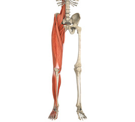 Legs Muscles Anatomy