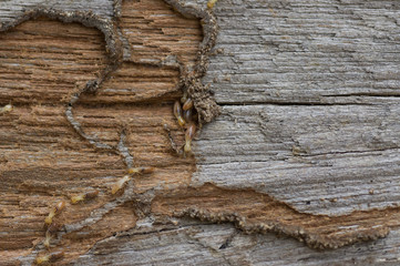 Closeup wood has been damaged eat by termite