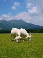 牧草地のヤギ