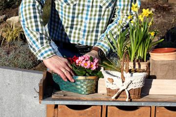 Gärtner pflanzt Frühlingsblumen am Pflanztisch ein