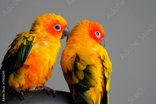 Poster Sun Conure in Gray background