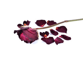 dry roses on white background