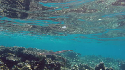 Smooth Cornetfish (Fistularia commersonii) in Red Sea, Egypt.