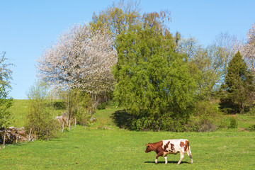 Cow walking in the meadow