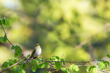 Green Warbler singing