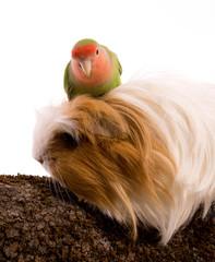 oiseau inséparable roséicolis - lovebird sur un cobaye
