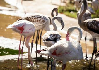 Pink flamingoes drinking water