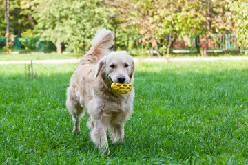 Dog of breed a golden retriever