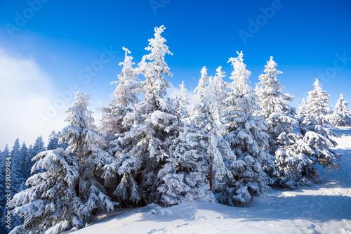 kiefern-im-schnee-bedeckt
