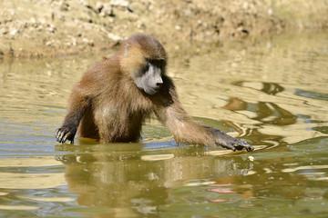 Guinea baboon in water