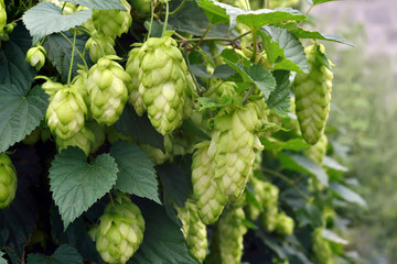 ripe hops outdoors
