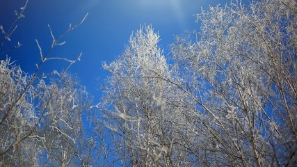 Snowy birch branches in winter sunny day against clear blue