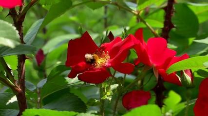 Шмель и роза