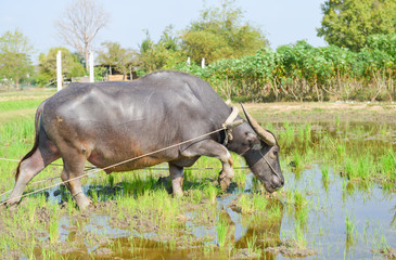Thai Buffalo plowing in the paddy filed
