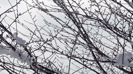 Snow on tree branches