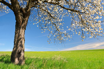 Blooming cherry tree on meadow. Spring landscape.