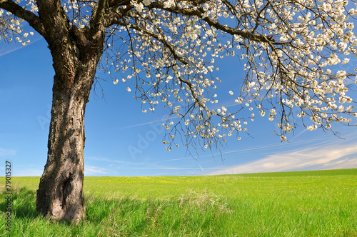 Keuken foto achterwand Lente Blooming cherry tree on meadow. Spring landscape.