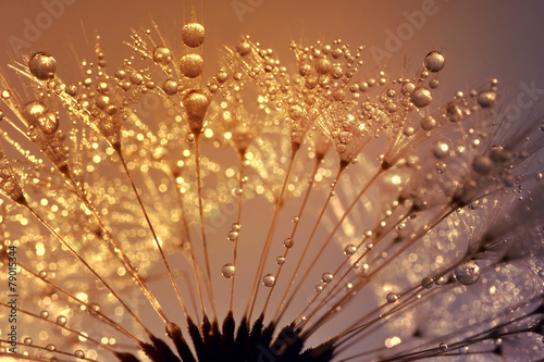 Fotobehang Paardebloem Dewy dandelion at sunrise close up