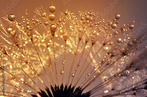 Tuinposter Paardebloem Dewy dandelion at sunrise close up