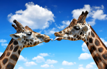 Portrait of a kissing giraffes on blue sky