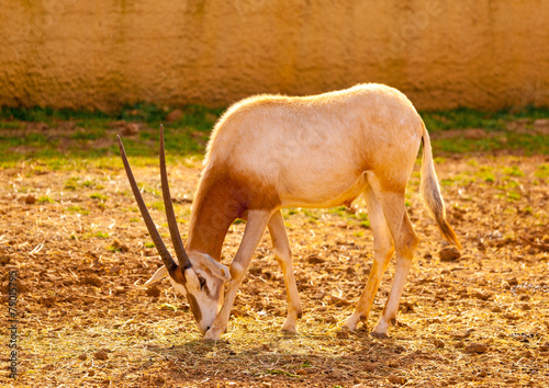canvas print picture pretty antelope eating