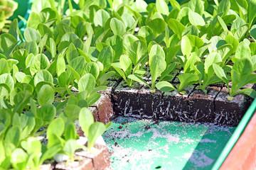 Petites salades à planter