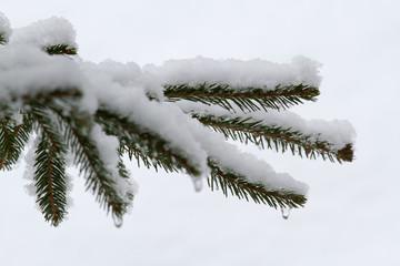 Schneebedeckter Tannenzweig