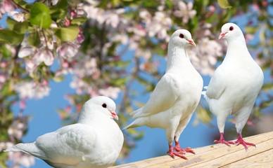 Three white pigeon on flowering background
