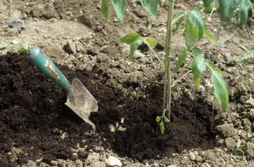 Lycopersicom esculentum, Tomate, plantation, pied de tomate
