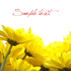 yellow flowers isolated over white background