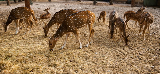 small herd of young sika deer on the farm