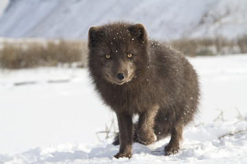 Commander's blue arctic fox that stands in the snow with a raise