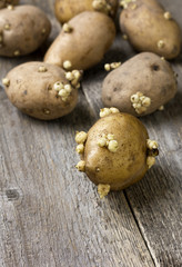 potato tubers with sprouts for landing