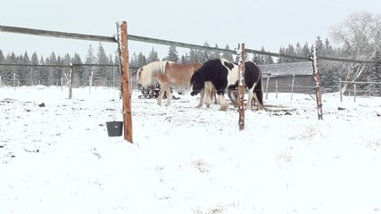 Horses on winter snowy pasture in morning sunlight