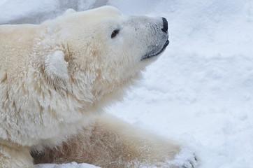 Белый медведь на снегу.