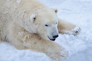 Медведь на снегу.