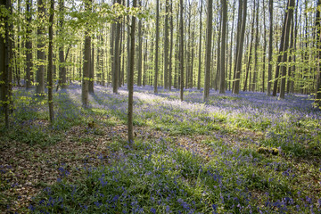 springtime bloom in the blue forest