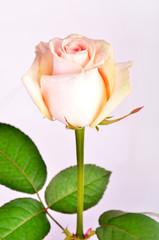 Peach-colored rose on a stem