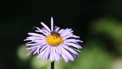 Bee gathering nectar on the flower