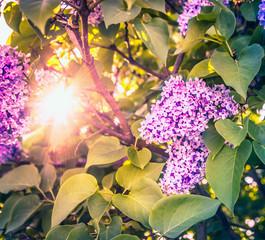 sun shines through the bush blossoming lilac , toned