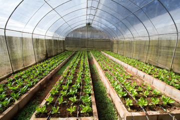 vegetable farm, indoor cabbage and salad vegetable farm,Thailand