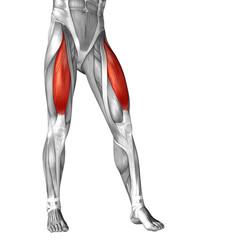 Conceptual 3D human front upper leg muscle anatomy