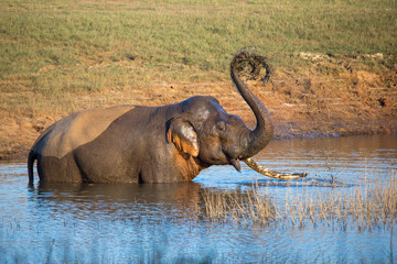 Tusker in water