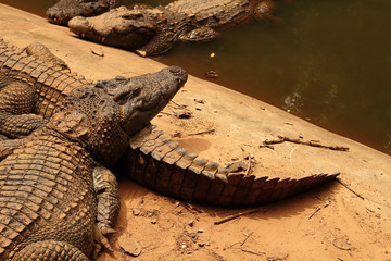 Big crocodile in the zoo