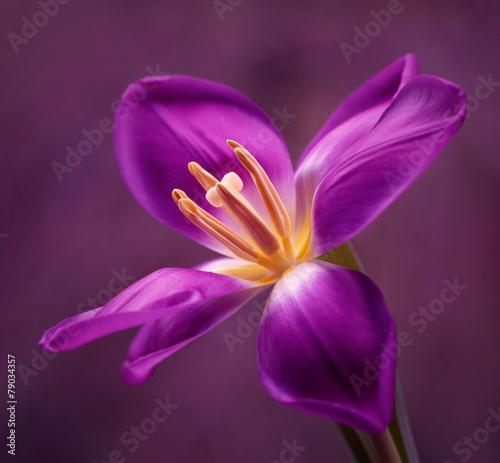 Foto op Canvas Tulp Tulipan