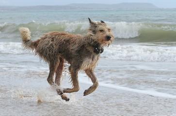 Beiger Picard rennt am Strand