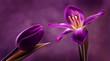 Tulipany - 79035921